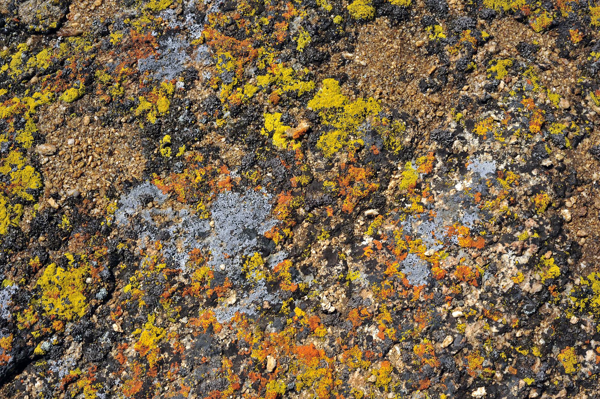 Lichen growing on a Rock