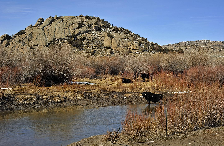 Wyoming stock herd open range cattle